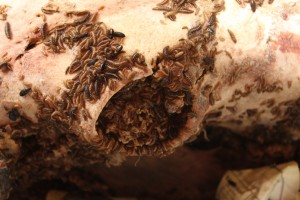 Our dermestid beetles feeding on a bison skull