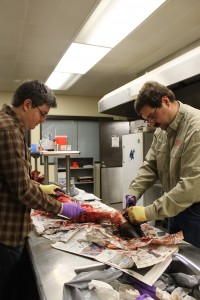 J. Howard and D. Poltorak skinning a bison leg